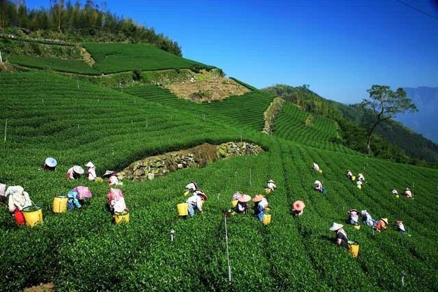 Cai Qing-Picking Tea Leaves