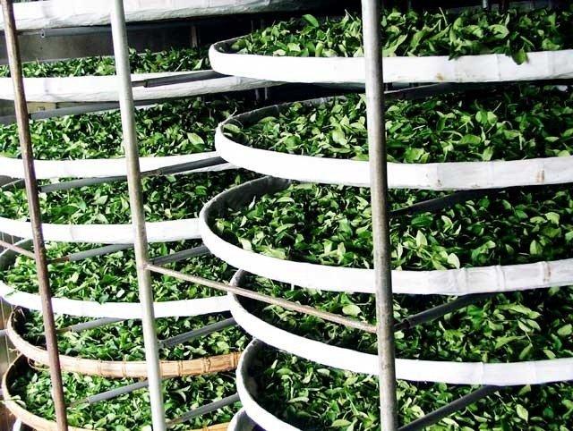 Wei Diao-Soften the Tea Leaves