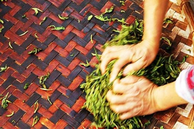 Rounian or Zhuoqing-Shaping the Tea Leaves